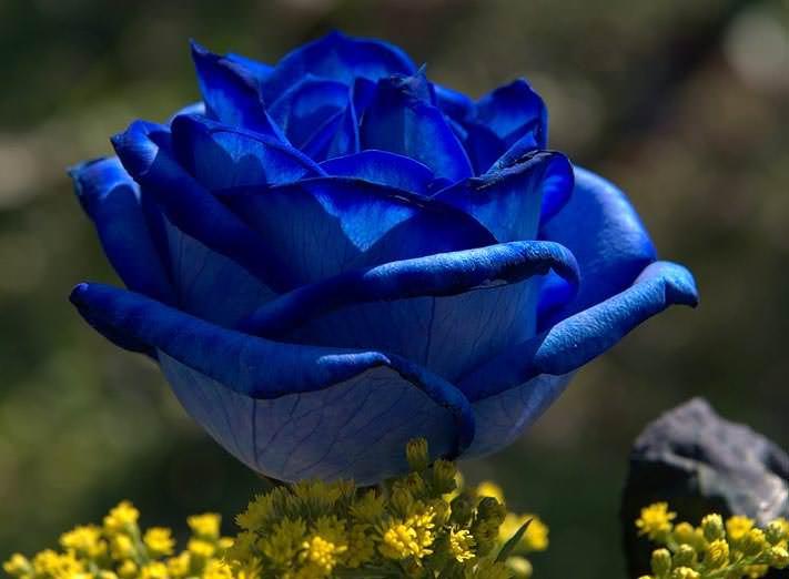 Сорта роз необычной окраски