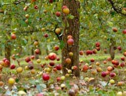Почему осыпаются яблоки