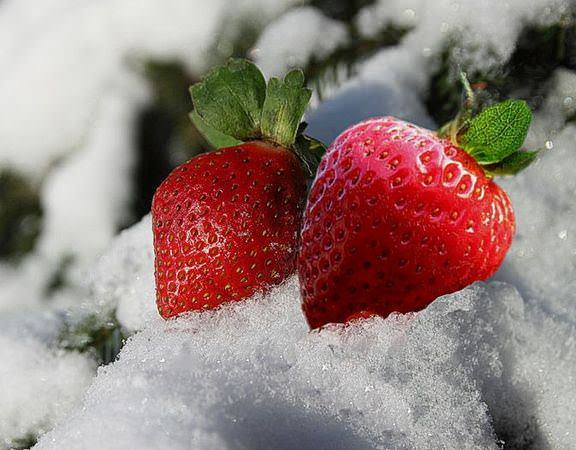 При какой температуре может замерзнуть клубника