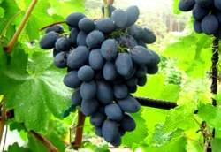 Виноград Кодрянка: описание сорта и фото
