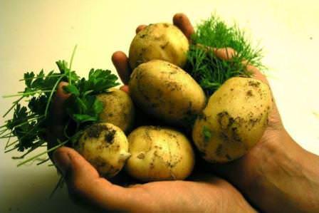 Картофель, бесспорно, является наиболее известным из всех корнеплодов, особенно у нас в стране