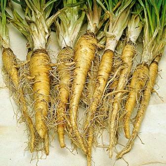 Овсяный корень (или Растительная устрица) – корнеплоды данного растения имеют чрезвычайно питательные и полезные свойства