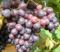 Виноград Краса Никополя: фото, описание, характеристика