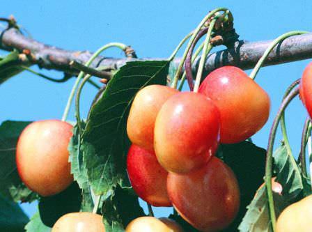 Сорт черешни Красавица