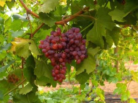 Виноград Кримсон