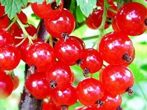 Размножение весной  красной смородины черенками (видео)