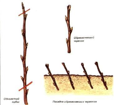 Красная смородина размножается одревесневшими черенками, срезанными с молодых однолетних ветвей