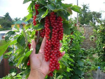 В благоприятных условиях куст красной смородины хорошо плодоносит 20 лет