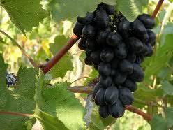 Виноград Фурор: описание сорта (17 фото)