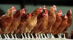 Породы кур-несушек: фото и описания