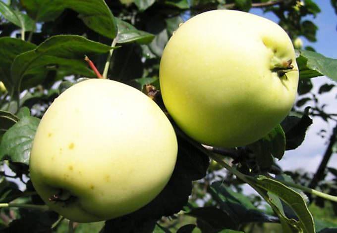 Сорт «Летнее белое» можно употреблять в свежем виде, консервировать, перерабатывать