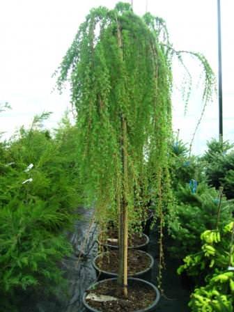 Лиственницу используют для озеленения как в зимних садах, так и в открытом грунте