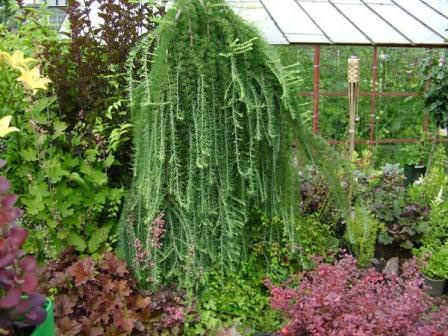 """Лиственница станет """"акцентом"""" в вашем саду, как летом, так и зимой"""