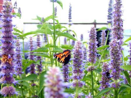 Лофант – очень популярное растение в народной восточной медицине