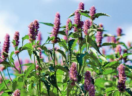 Уборка растения следует начинать проводить при начале цветения растения