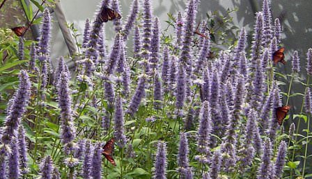 Иссоп является довольно устойчивым растением к различным болезням и даже вредителям