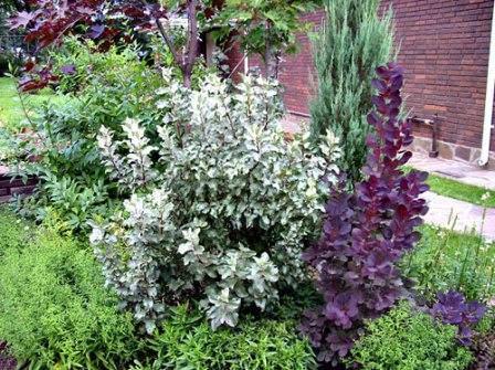 Лох — не только декоративное растение