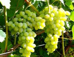 Виноград Лора: описание сорта, фото, отзывы