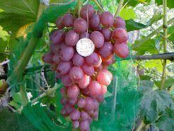 Виноград Лучистый: описание сорта, фото, отзывы