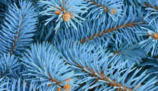 Как прорастить семена голубой ели