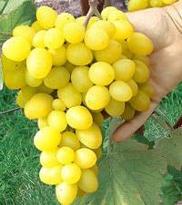Виноград Макси черный: описание сорта, фото, отзывы
