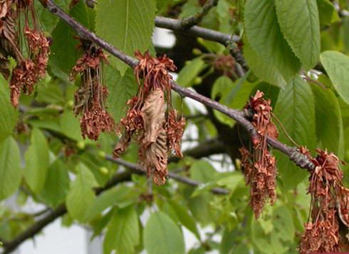 Болезни вишни, их виды и варианты лечения