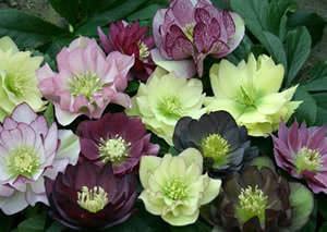 Морозник (10 фото цветов)