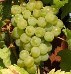 Сахаристость винограда по сортам