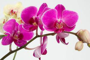 Выращивать эти орхидеи можно в сетчатом кашпо (предварительно сделав отверстия в его основании) и корзинке или в обыкновенном горшке, при этом необходимо корректировать интенсивность полива
