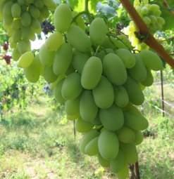 Виноград Дамские пальчики: посадка и уход