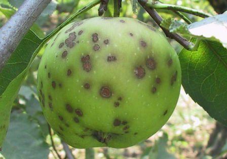 Болезни и вредители яблонь признаки и