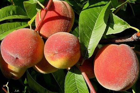 Пересадка персика