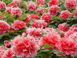 Цветы от цветоводов Японии