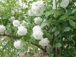 Пересадка плетистых роз