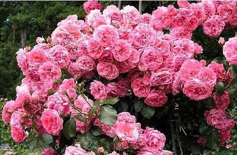 Роза плетистая: выращивание и уход (19 фото)