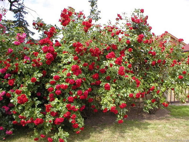 Плетистые розы: выбор сорта, посадка, уход