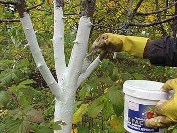Как правильно подготовить деревья к зиме: очистка и побелка деревьев