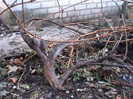 Обязательно обработайте куст винограда фунгицидами перед зимовкой