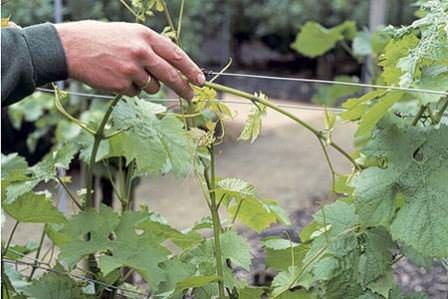 Чеканка виноградных кустов - один из этапов подготовки винограда к зиме