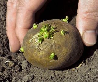 Подготовка картофеля перед посадкой
