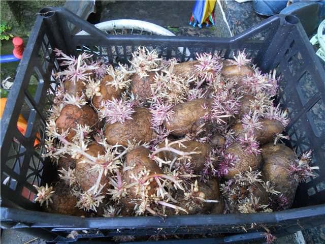 Возможно проращивание картошки в ящиках со специальными питательными веществами