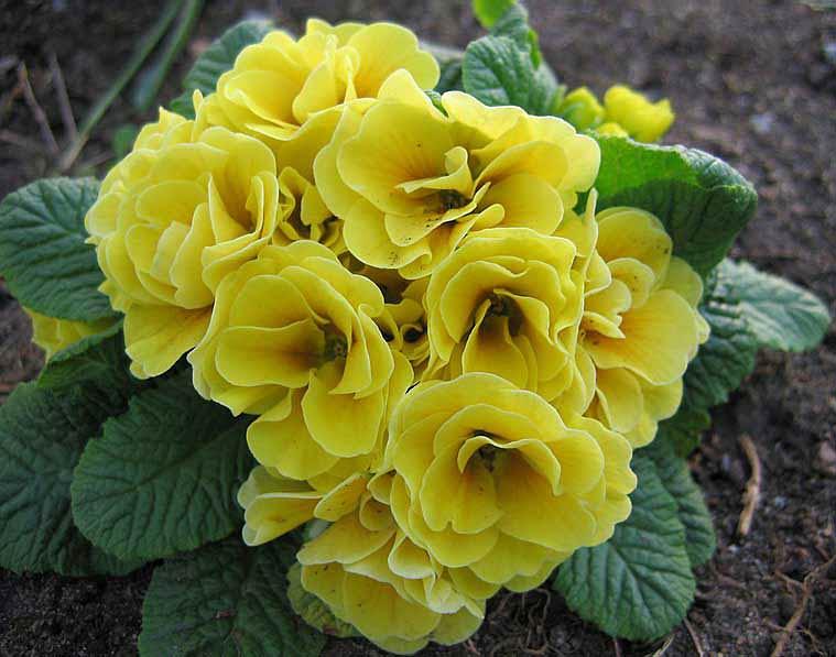 Примулы первые цветы в саду фото