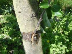 Прививки деревьев летом