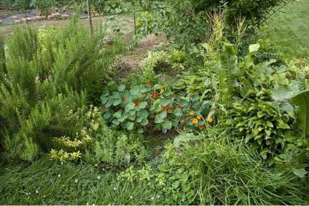 Лечебные свойства и декоративность пряного сада