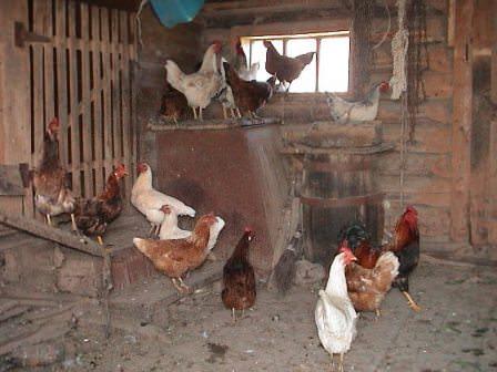 Как построить птичник для кур