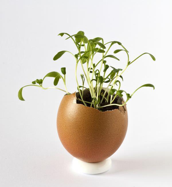 Посадка огурцов в скорлупу от яиц