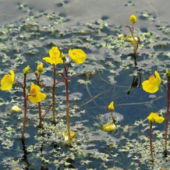 Пузырчатка обыкновенная - отличный вариант декоративного растения для пруда