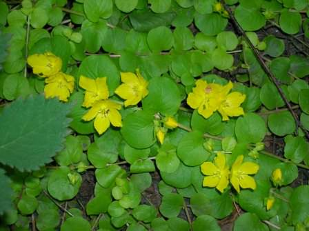 Вербейник монетчатый - растение, которое идеально подходит для посадки на берегу водоема