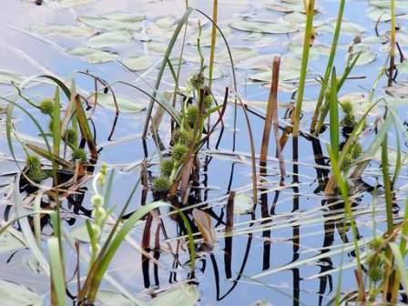 Ежеголовник - замечательный выбор для посадки на мелководье озера или пруда