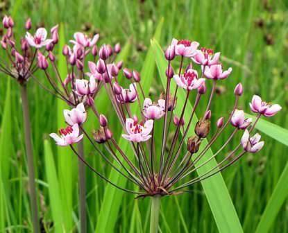 Сусак зонтичный - красивое водное растение для водоема на даче